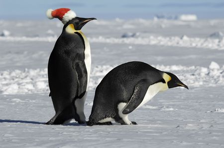 Antarctic penguin pair on Xmas Stock Photo - 5824172