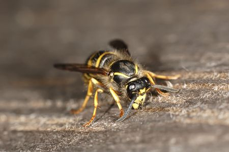 revulsion: Wasp picking up nesting material Stock Photo