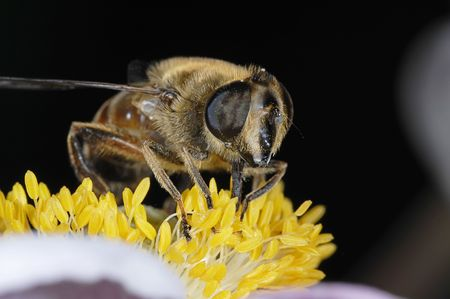 filaments: Hoverfly on yellow flower filaments Stock Photo