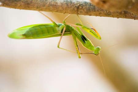 praying mantis: Praying mantis on branch