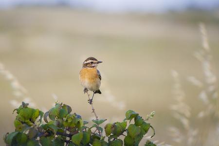 passerine: Whinchat, small migratory passerine bird. Saxicola rubetra. Stock Photo