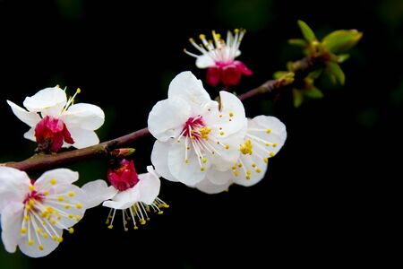 blooms: Apricot blooms on bare branch. Black background Stock Photo
