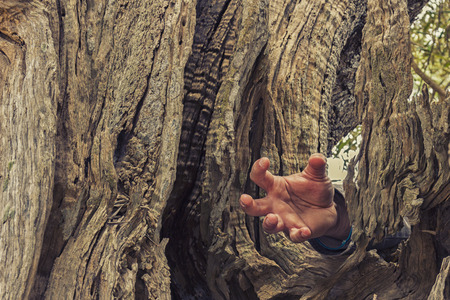 Italian countryside: hand inside an ancient olive tree
