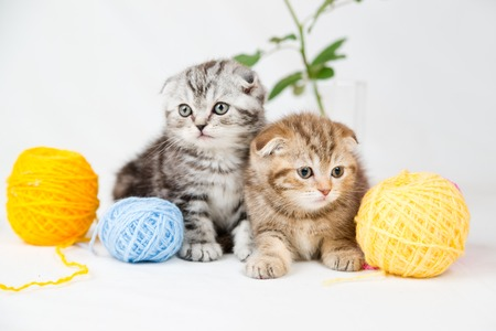 British Shorthair kittens on white background photo