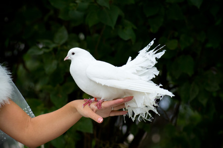 White Pigeon and Female Hand photo