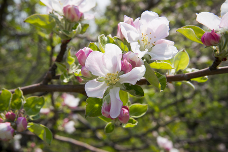 Apple blossom close-up spring. Background of beautiful flowers. photo
