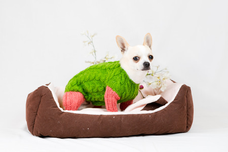 pedigree: Small pedigree dogs on a white background  Pet in the studio Stock Photo