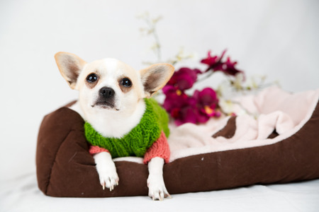 toyterrier: Small pedigree dogs on a white background  Pet in the studio Stock Photo