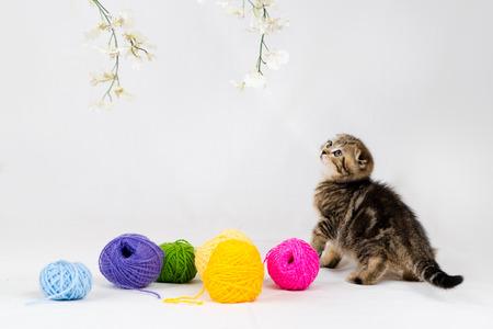 British Shorthair kitten on white background  Pet in the studio  photo