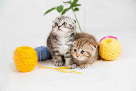 British Shorthair kittens on white background  Pets in the studio photo