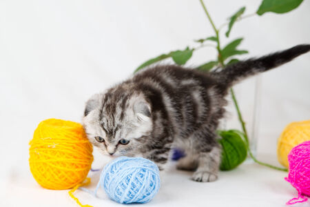 British Shorthair kitten on white background  Pet in the studio  photo
