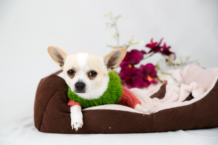 pedigree: Small pedigree dogs on a white background. Pet in the studio Stock Photo