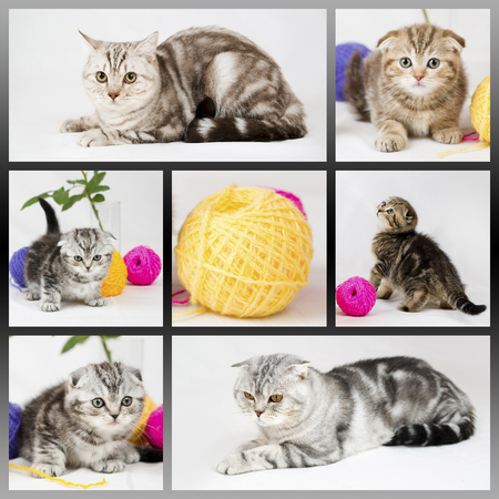 British shorthair kittens on white background. Collage with cats. Pets in the studio. photo