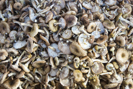 Many edible mushrooms. Honey mushrooms. Harvest season. Background. photo