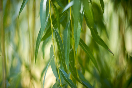 landscape background: Willow leaves close up. Nature background