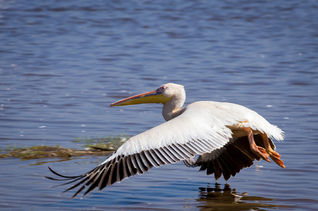 Pelican skimming water