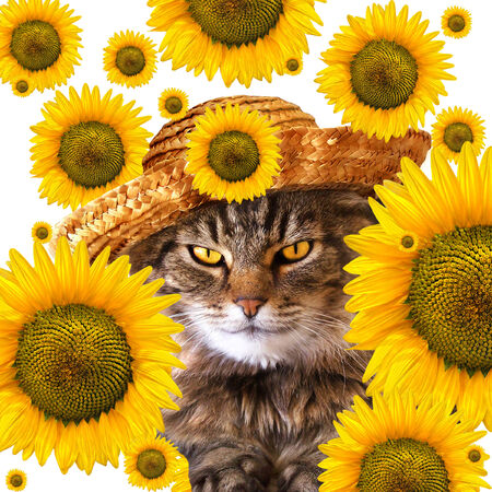 calico whiskers: Cat with straw hat and raining sunflowers