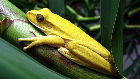 Yellow frog at the Pantanal, Brazil Stock Photo - 12611782
