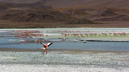 flamingos at Lago Colorada,Salar de Uyuni in Bolivia photo