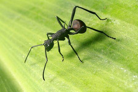 antrey: Giant Ant in the rainforest of Borneo Stock Photo