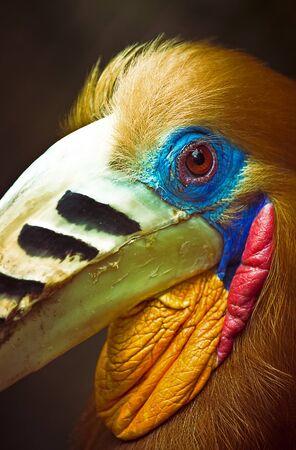 endothermic: Rufous-necked Hornbill - Aceros nipalensis, Burma