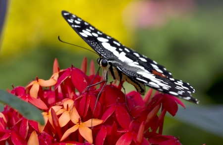 helena: black white butterfly on red flower,Malaysia