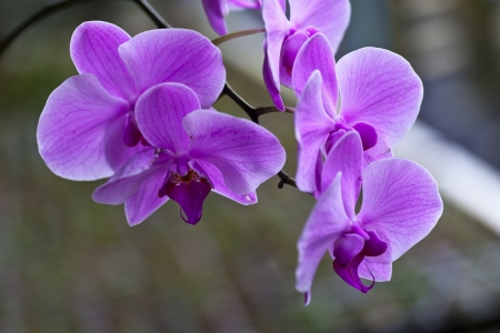 beautiful orchid flowers,Phuket Orchid Farm,Thailand photo