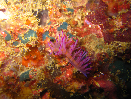 nudi: Flabelli rubrolineata - aeolid nudibranch Stock Photo