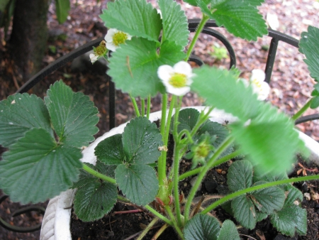 planter: strawberry blossoms in planter