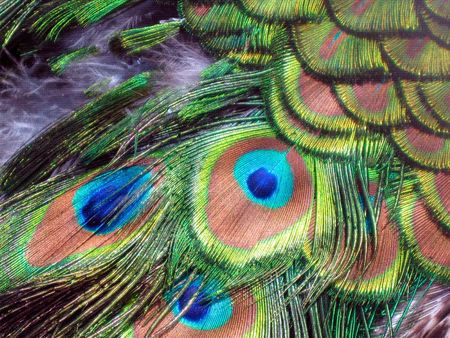 Peacock eye colors and feathers up close
