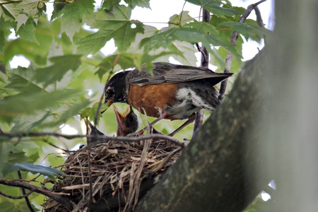 hatchling: An adult Robin feeding nested hatchlings in a tree