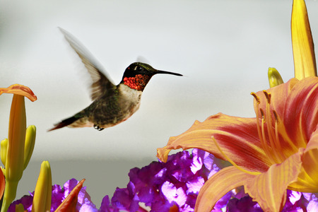 ruby throated: A male, ruby throated hummingbird in flight approaching a day lily