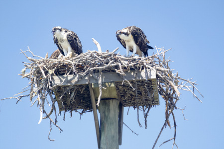 A mating osprey pair in a nest on Sanibel Island, Florida