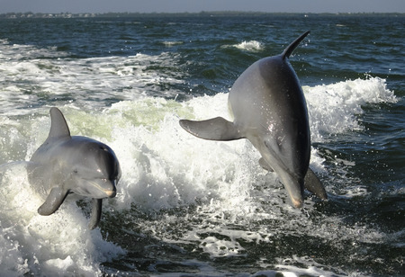 bottlenose: A mother bottlenose dolphin and her young calf jumping the wake of a speedboat in the Gulf of Mexico off Sanibel Island, Florida