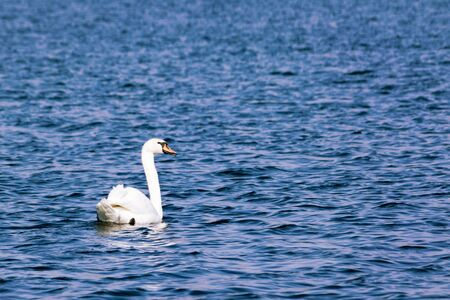 trumpeter swan: A lone trumpeter swan swimming in an inland lake