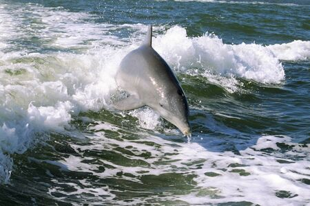 Young calf bottlenose dolphin jumping the wake behind a speedboat in the Gulf of Mexico off Sanibel Island, Florida photo