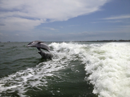 porpoise: A pair of Atlantic Bottlenose Dolphins behind a speedboat in the Gulf of Mexico