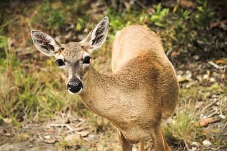 endangered species: A curious Key Deer doe in the Florida Keys.  These miniature deer are native only to certain parts of the Keys and are an endangered species. Stock Photo