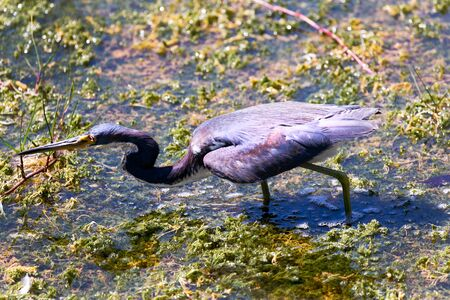 ding: A tri-colored Heron stalking in the waters of Ding Darling Nature Preserve on Sanibel Island, Florida