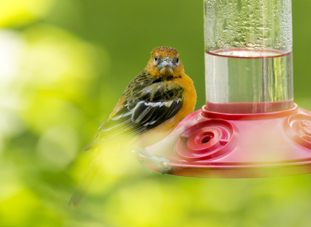 Juvenile Baltimore Oriole close-up at a nectar feeder Stock Photo