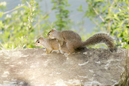 Two common red squirrels mating on a stone platform in Turkey Run State Park, Indiana