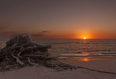 A distressed tree stump, it's roots unearthed, on the Gulf of Mexico at Sanibel, Florida, at sunset
