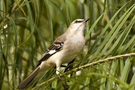 A Mockingbird against the green backdrop of a tree in Tampa, Florida