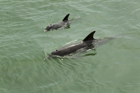 A mother Atlantic Bottle-nosed dolphin with her calf, swimming off the shores of DeSoto State Park in Clearwater, Florida