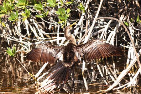 An Anhinga water bird spreading its wings to dry in the sun in Bailey Tract Nature Preserve on Sanibel Island, Florida