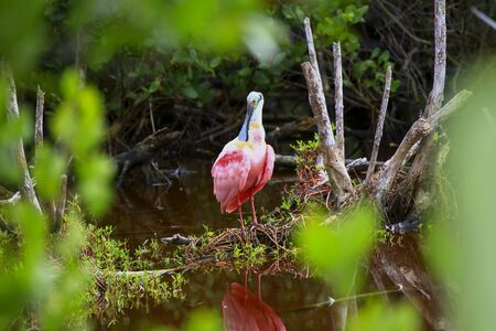 A colorful Roseate Spoonbill resting in the shallow waters of the Ding Darling Nature Preserve, Sanibel, Florida 写真素材