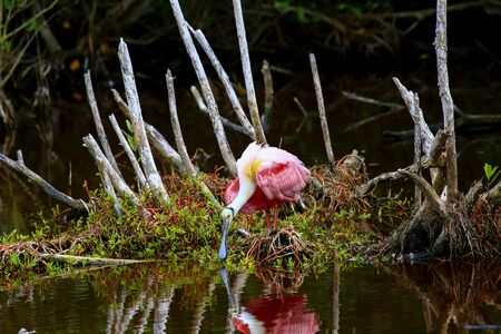 A colorful Roseate Spoonbill feeding in the shallow waters of the Ding Darling Nature Preserve, Sanibel, Florida Stock Photo - 128417105