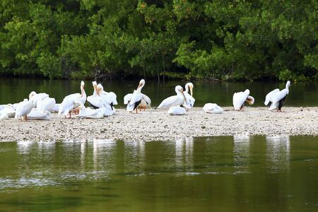 A flock of white pelicans preening and grooming on a sand bar at low tide in Ding Darling Nature Preserve, Sanibel, Florida