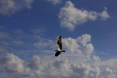 A majestic osprey soars against a softly cloudy sky, over the waters of Sanibel Island, Florida, in search of a meal