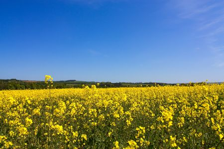 mill valley: View of Tyne Valley between Corbridge and Riding Mill with yellow Rape Seed oil flowers in foreground
